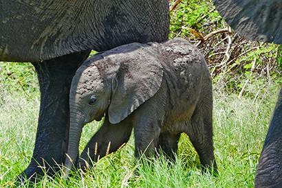 Cria de elefante