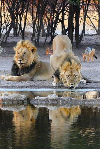 Leones cerca del agua