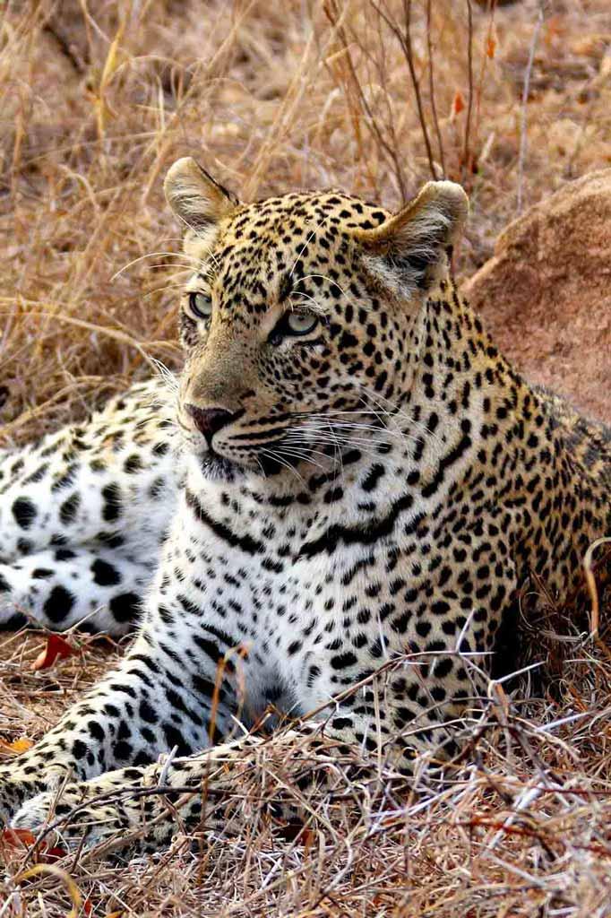 Leopardo joven sentado