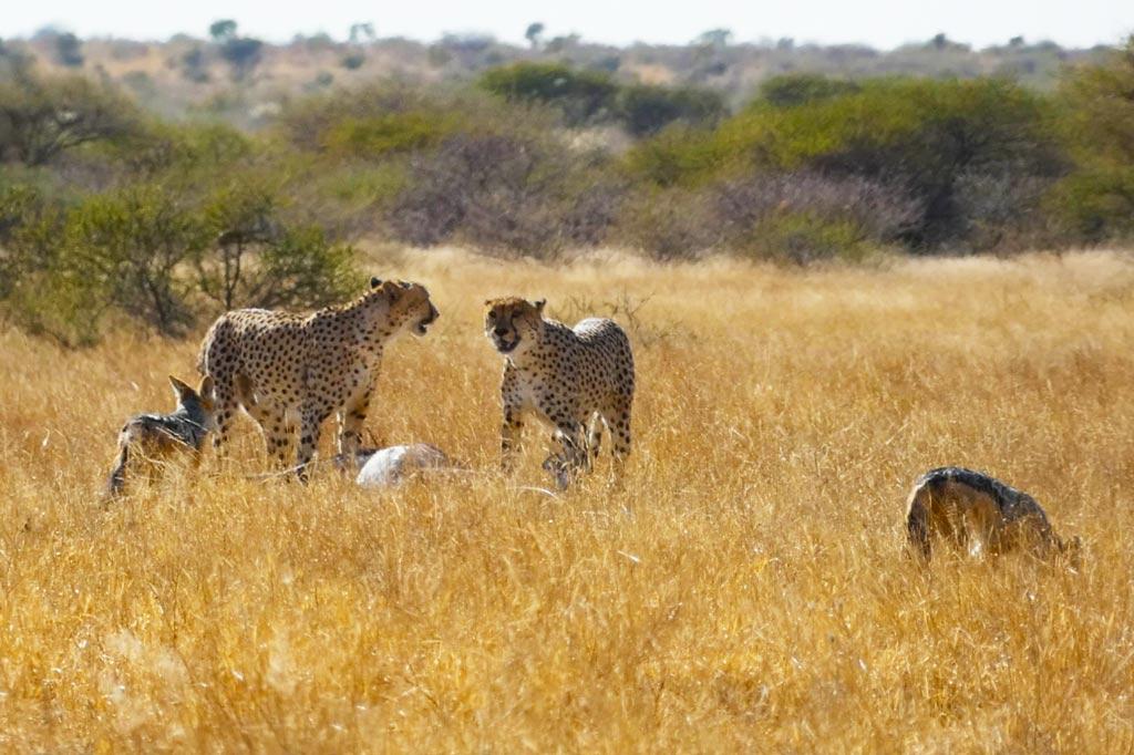 Guepardos cazando un orix.