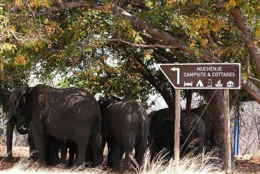 Elefantes en el campamento de Muchenje.