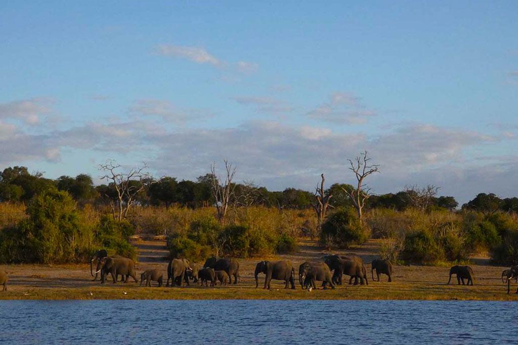 Elefantes en Chobe river front