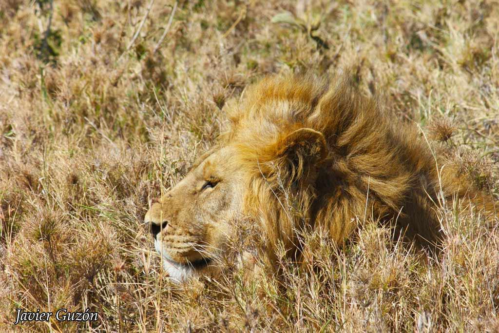 León en kalahari.