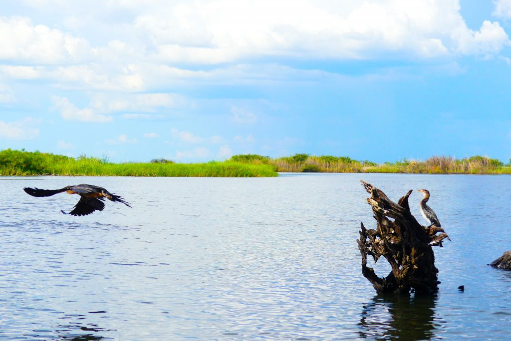 Cormoranes en Chobe River Front.