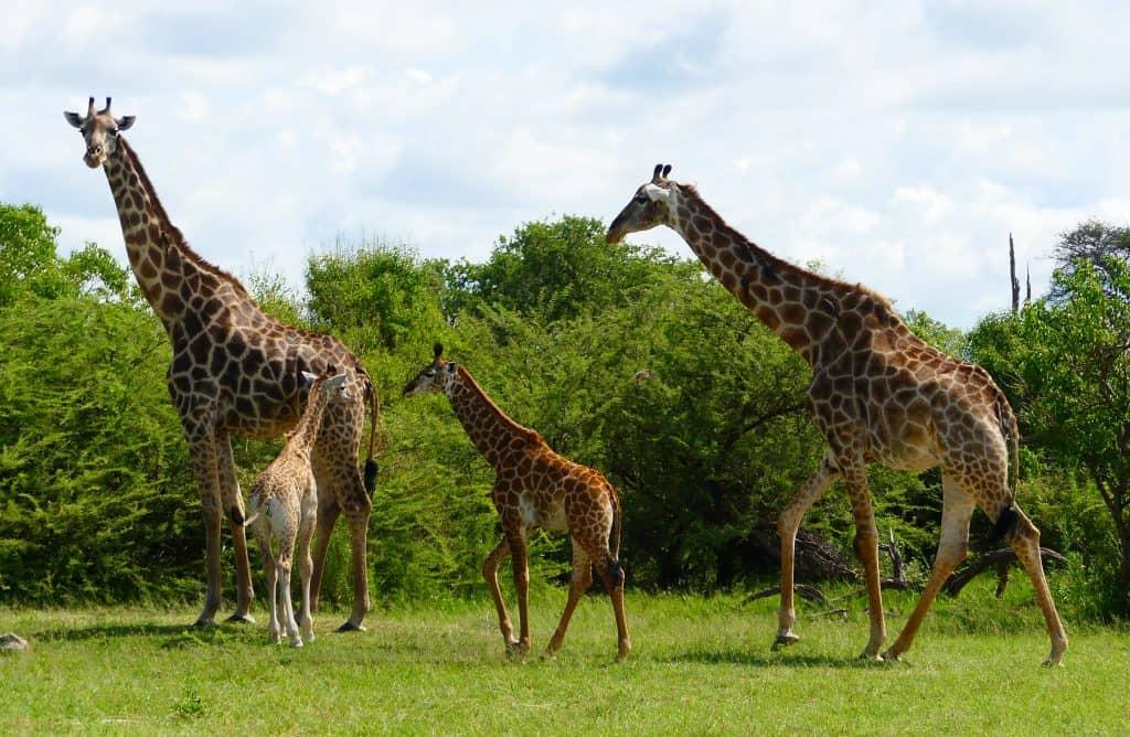 Familia de jirafas.