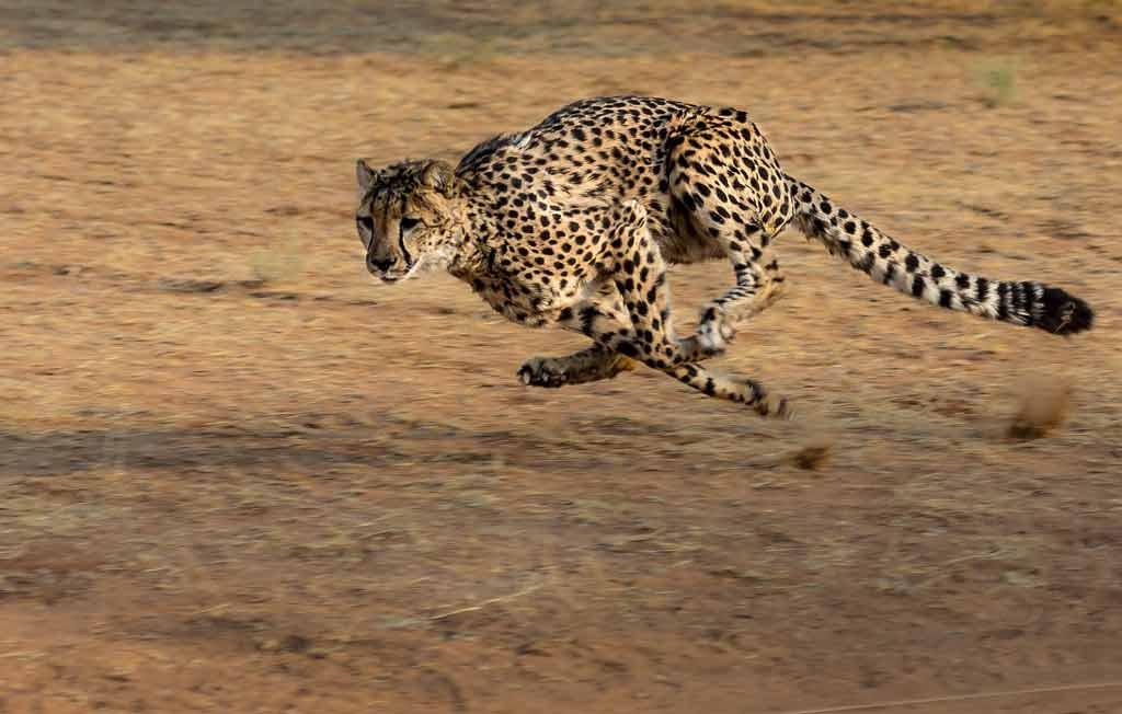 Guepardo cazando.