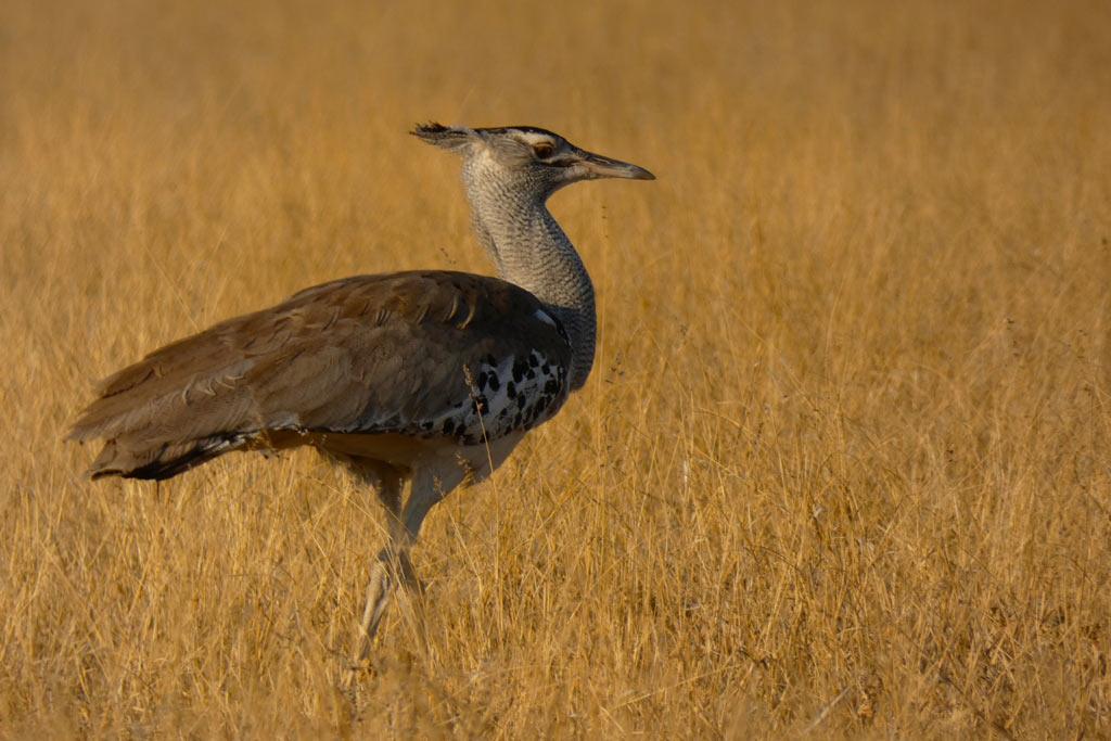 Avutarda de Kori. Kalahari.