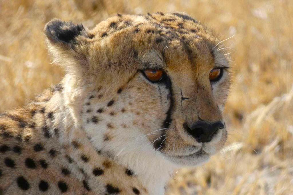 Cabeza de Guepardo. Kalahari.