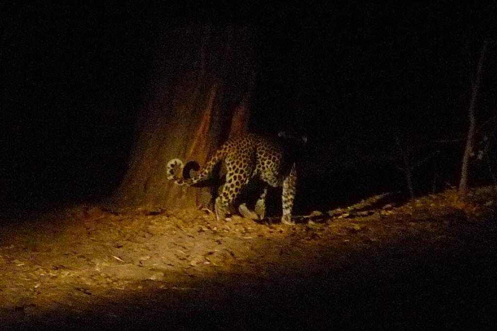 Leopardo en Magotho 7