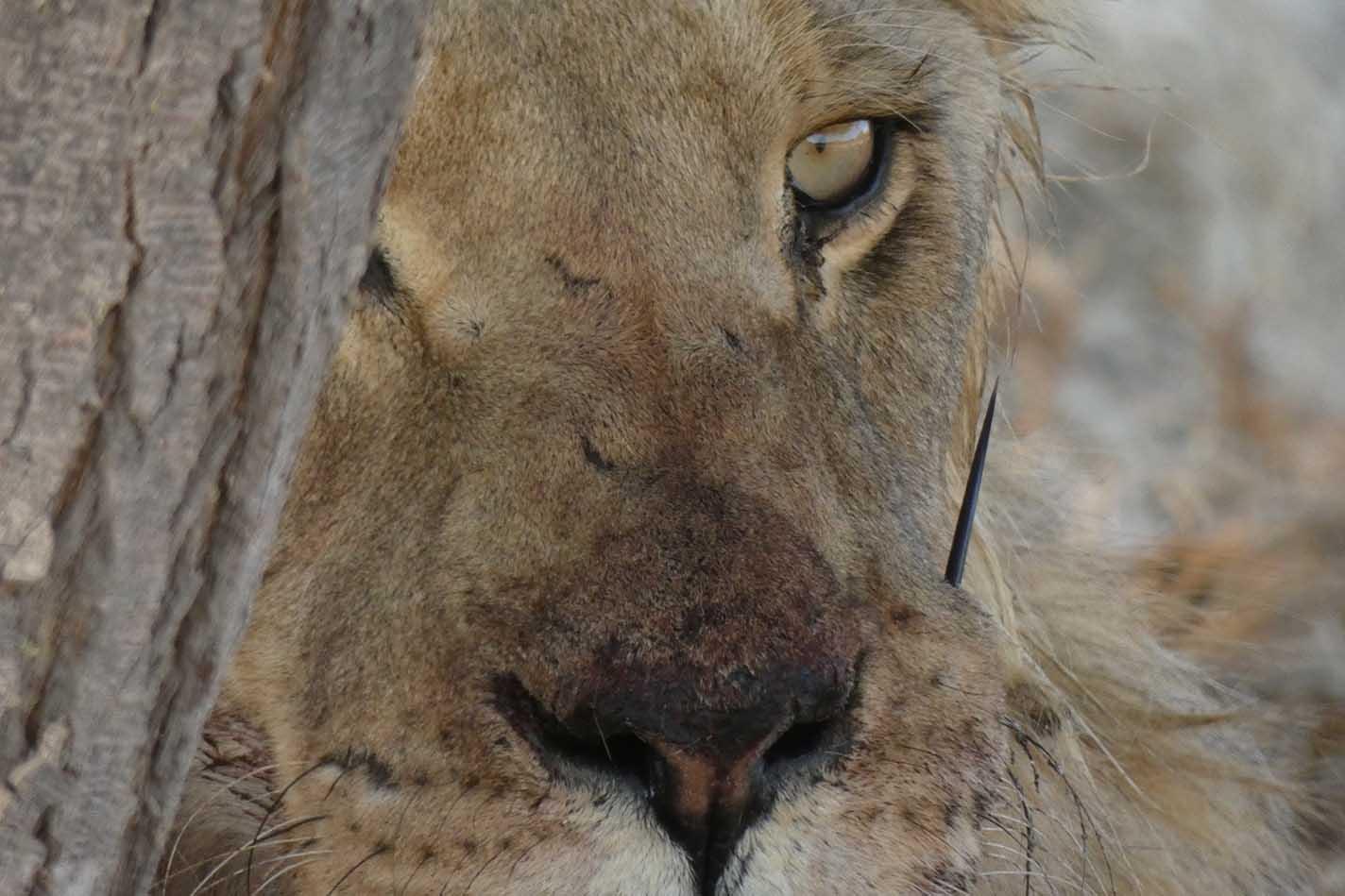 León con espina de puercoespin.