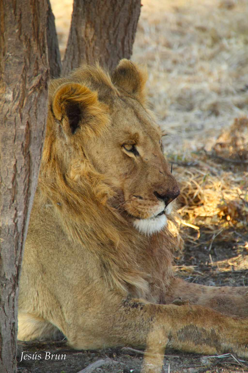 Joven león macho