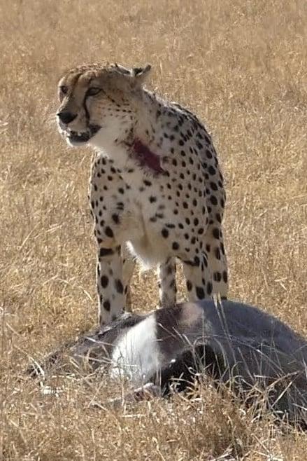 Guepardo cazando un orix