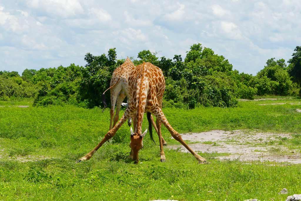 Dos jovenes jirafas bebiendo agua.