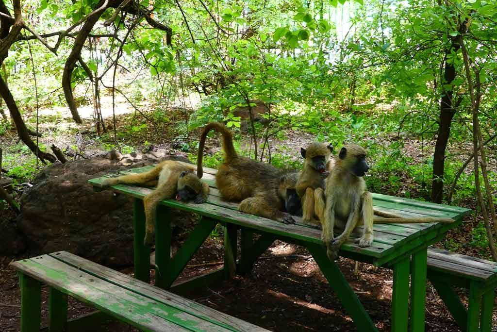 Jovenes babuinos en las cataratas Victoria.