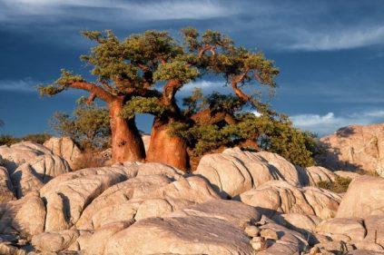 Baobab en Kubu Island.
