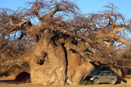 Acampada bajo el Baobab.