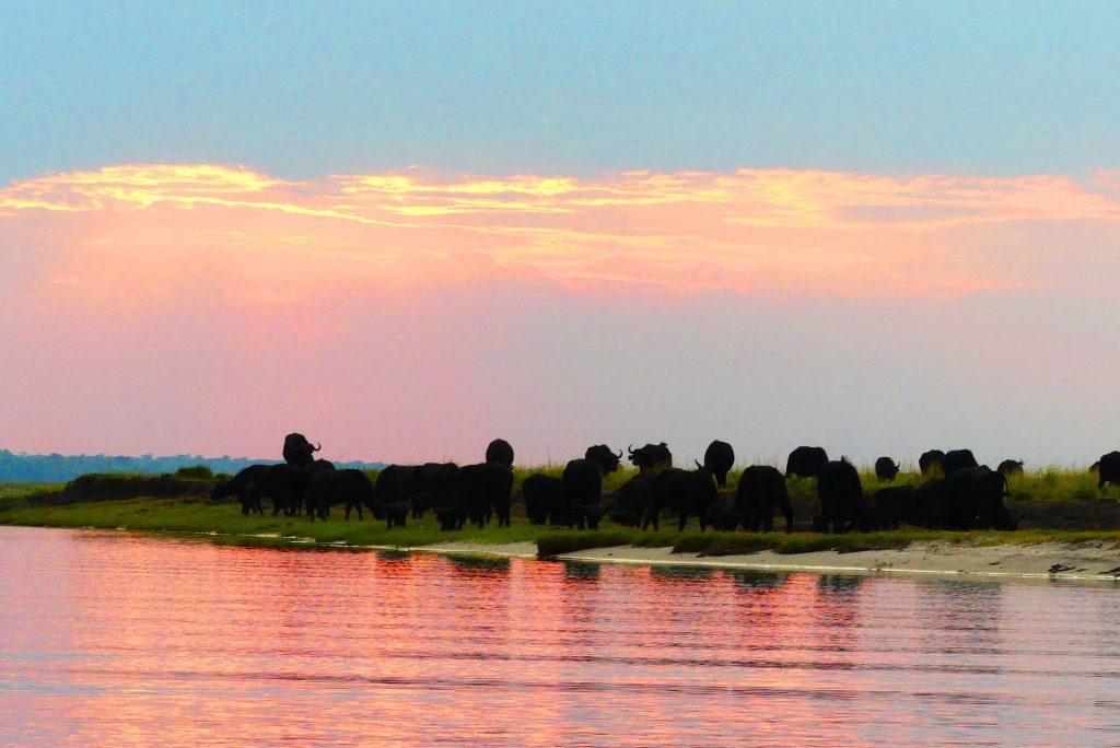 Búfalos junto al río rosado.