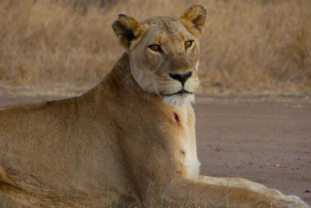 Leona herida en Satara, Kruger.