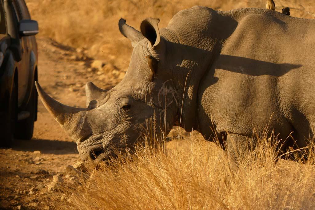 Rinoceronte blanco en Matjulu loop, Kruger.