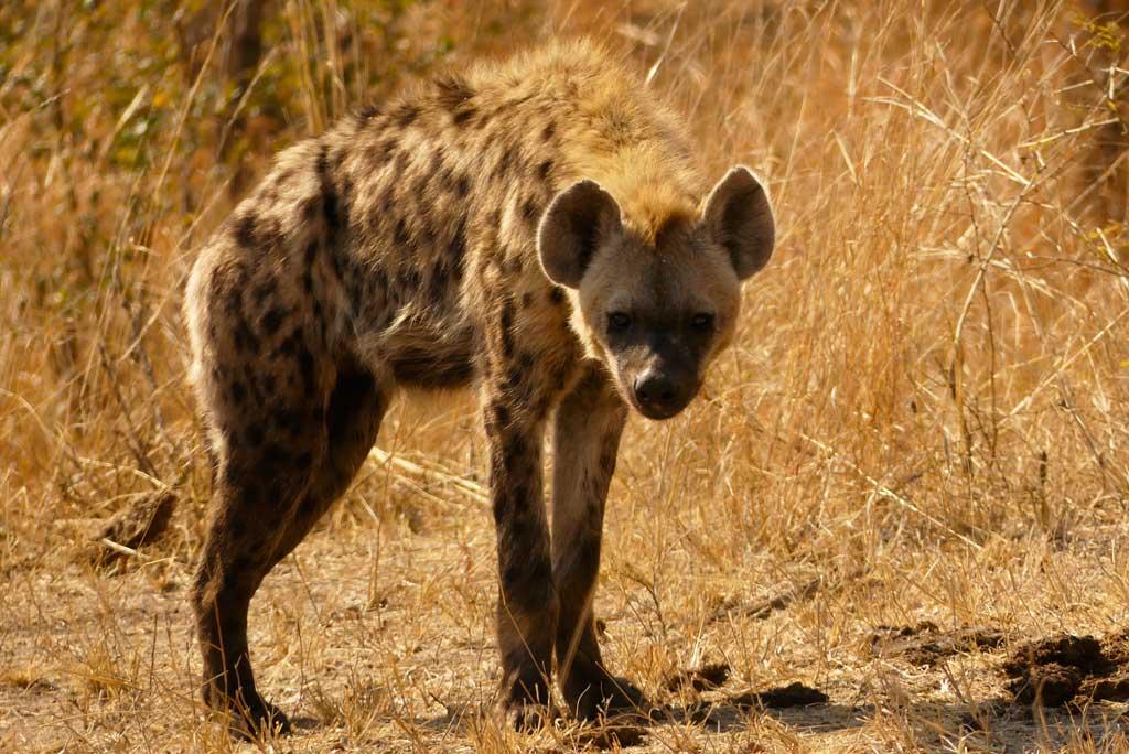 Hiena en Voortrekker road, Kruger