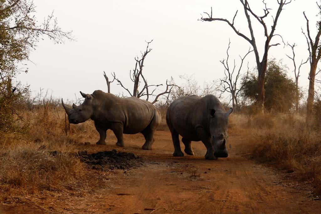 Encuentro con rinocerontes en Hlane.