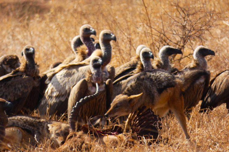 Festín de buitres y chacales, Satara, Kruger.
