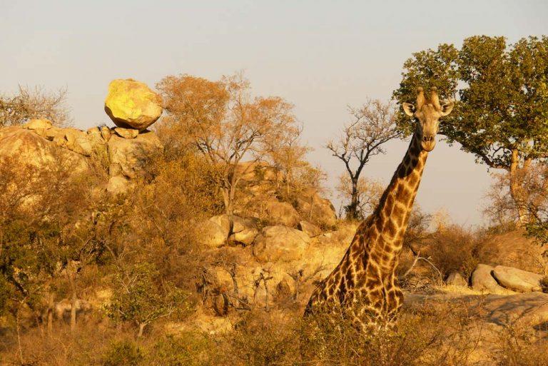 Jirafa en los alrededores de Berg-en-Dal. Kruger N.P.