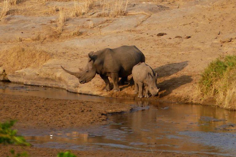 Rinocerontes bebiendo en el rio Swart-Imfolozi.
