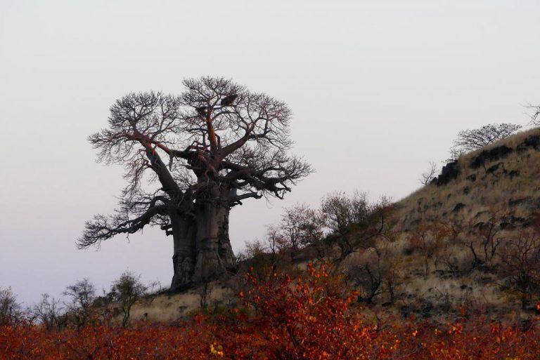 Baobab en Mopani. Kruger N.P.