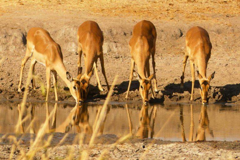 Impalas bebiendo agua en Skukuza. Kruger.