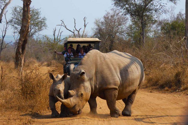 Rinocerontes en Hlane N.P.