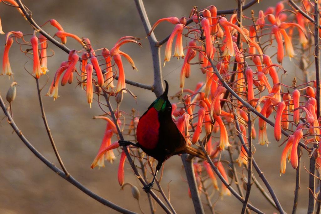 Sundbird escarlata libando una flor. Hlane.