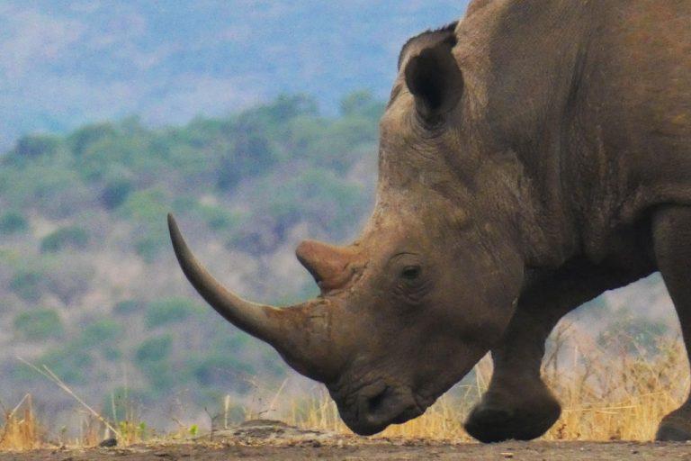 Rinoceronte en Matjutu loop. Kruger N.P.