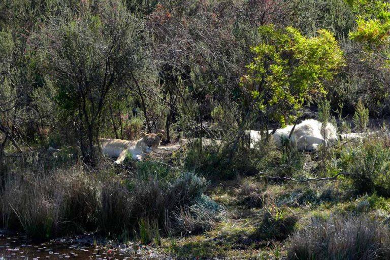 Leones blancos en Timbavati.