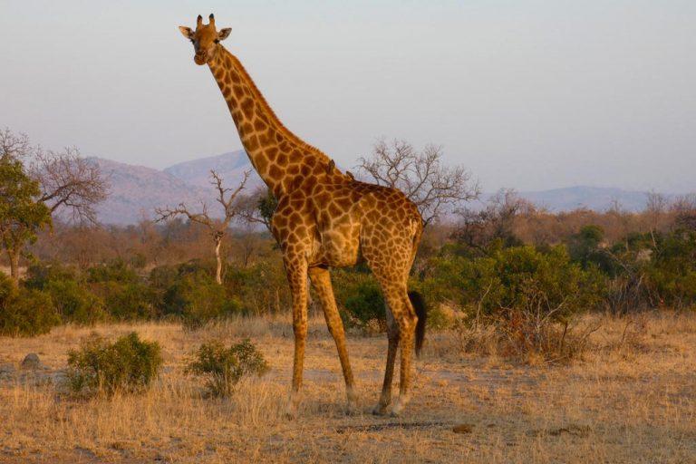 Girafa en Berg-en-Dal. Kruger N.P.