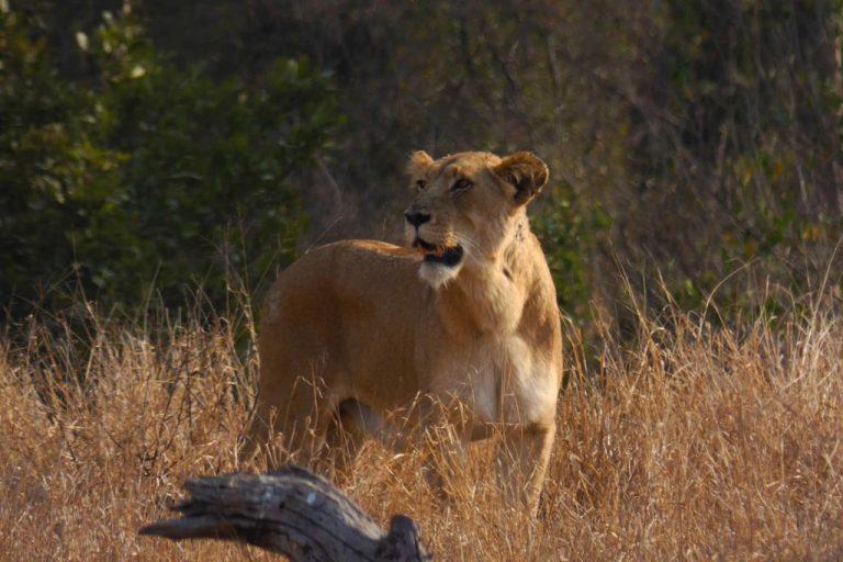 Leona cazando en Satara. Kruger N.P. Kruger N.P.