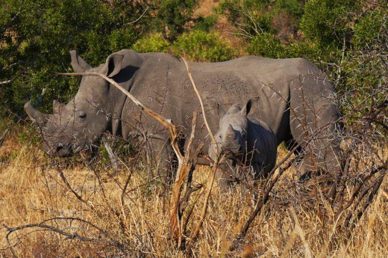 Rinoceronte con cria. Hlane N.P.