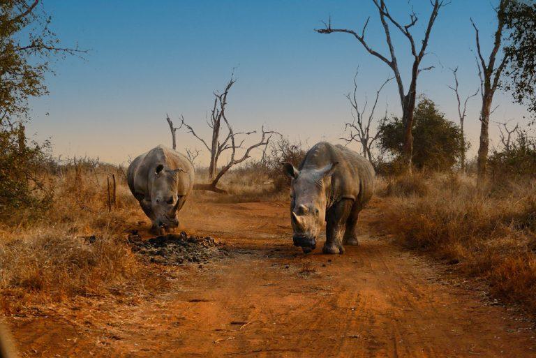 Encuentro con rinocerontes en Hlane N.P.