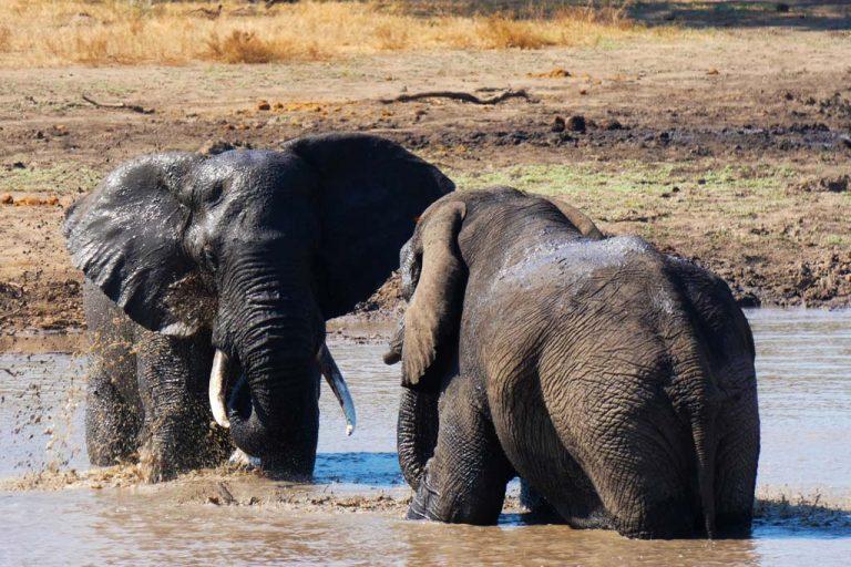 Enfrentamiento de elefantes. Kruger.