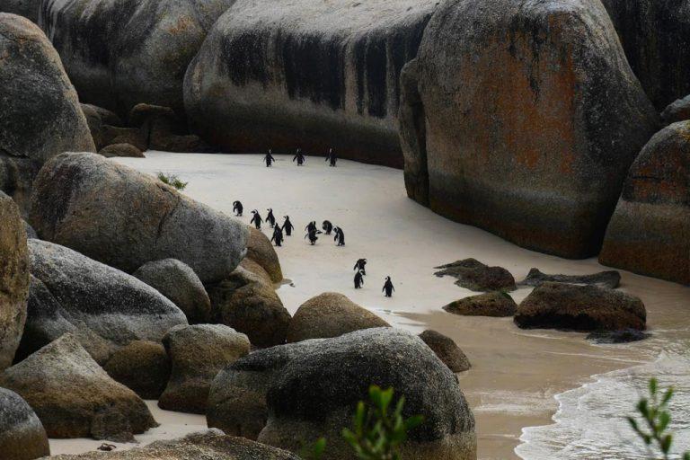 Pingüinos en Boulders Beach. C. de Buena Esperanza.