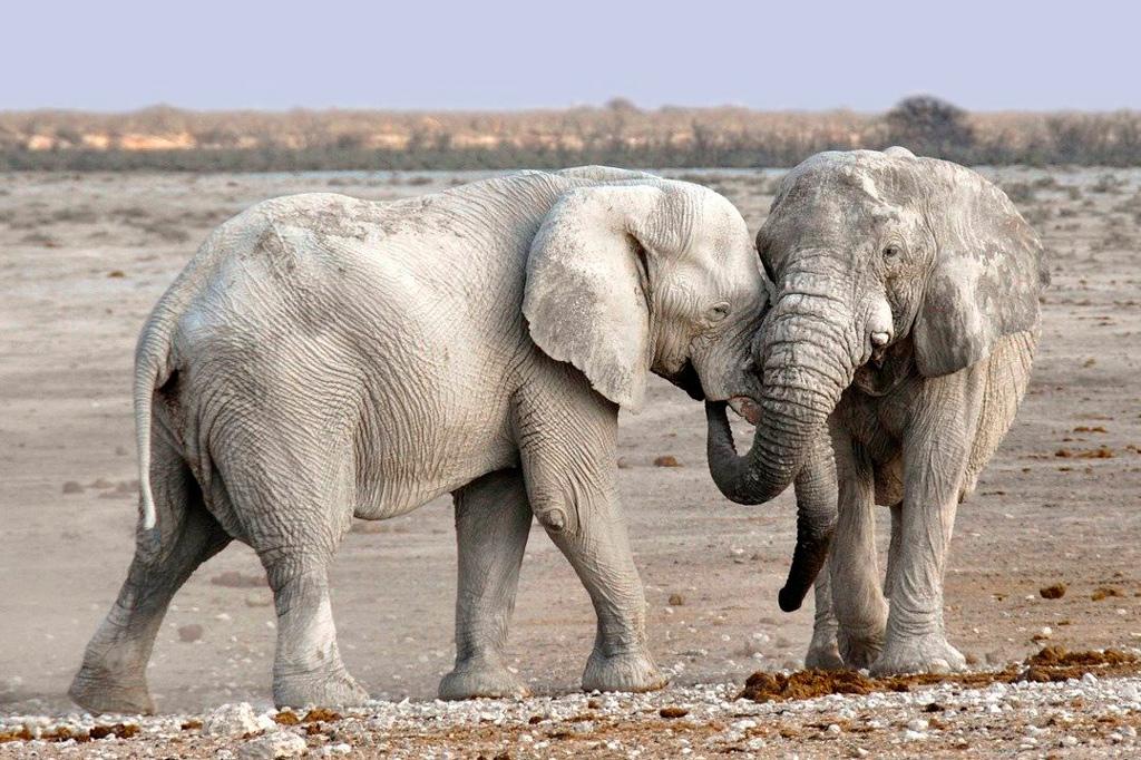 Elefantes en el area de Okajuelo. Ethosa.
