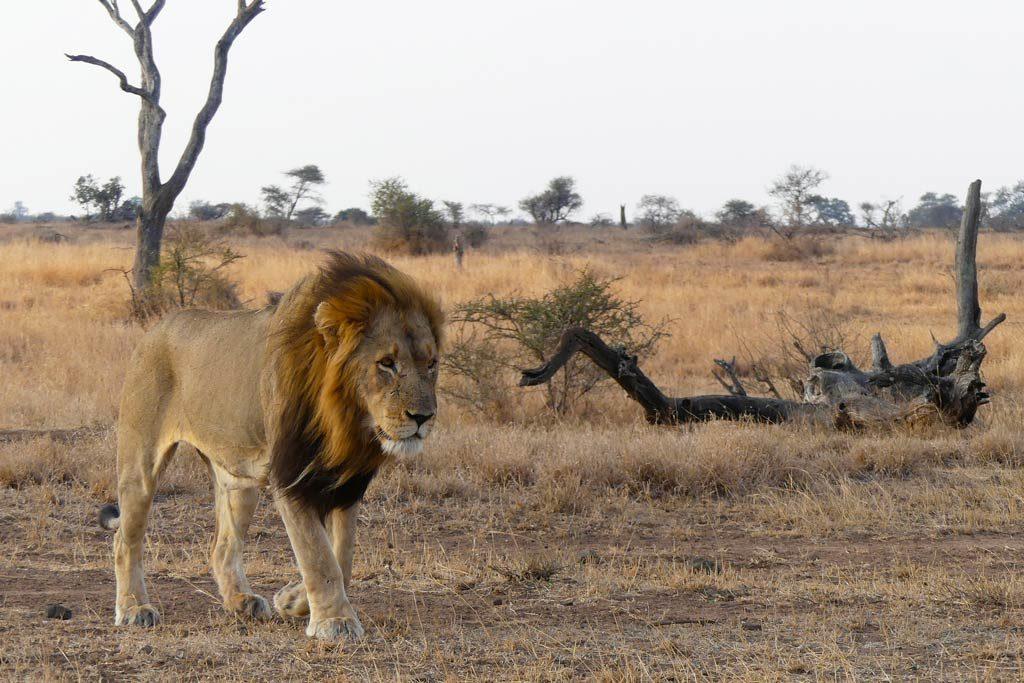 León macho en el area de Letaba. Kruger N.P.